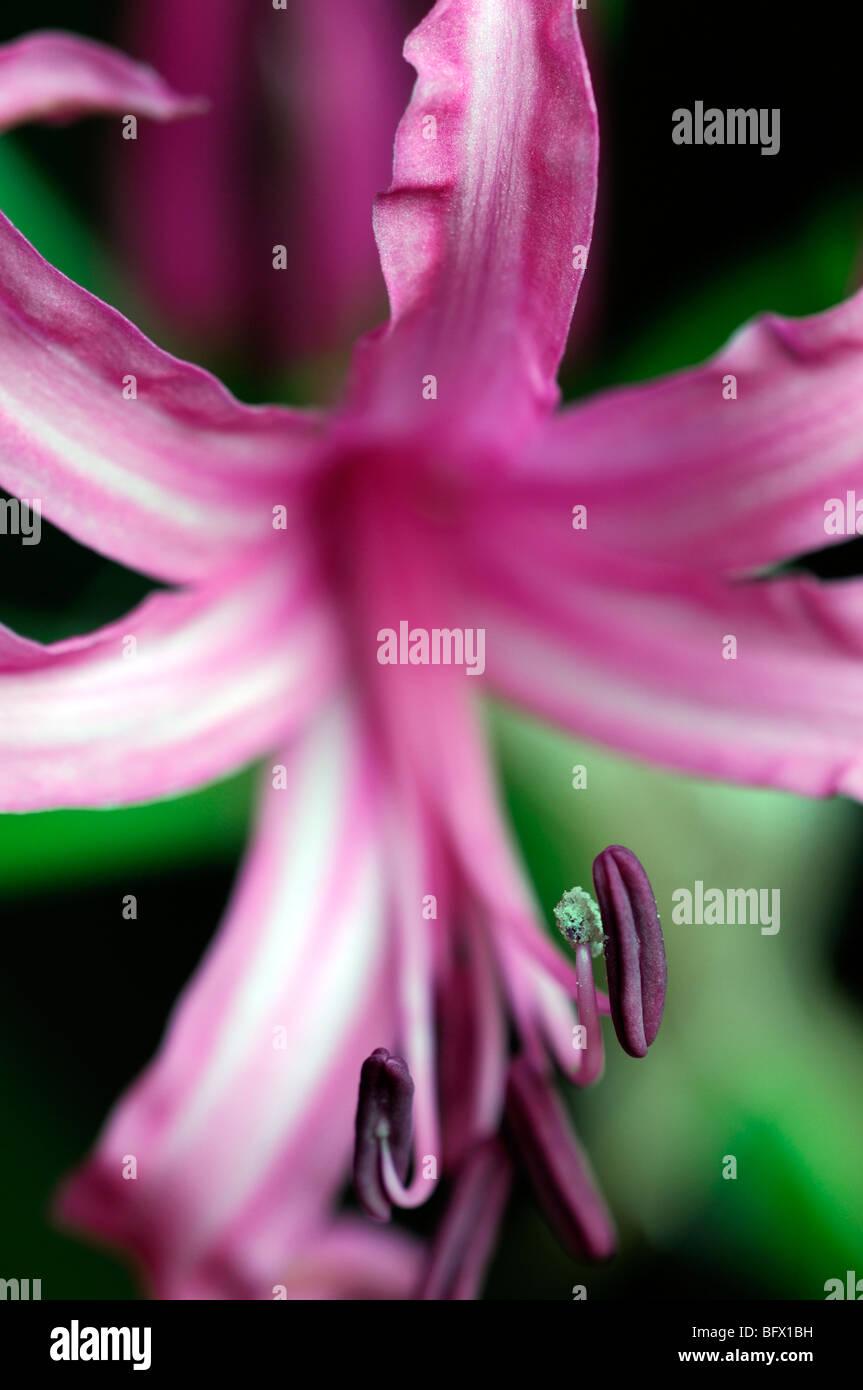 Close up of Nerine bowdenii Mark Fenwick - Stock Image