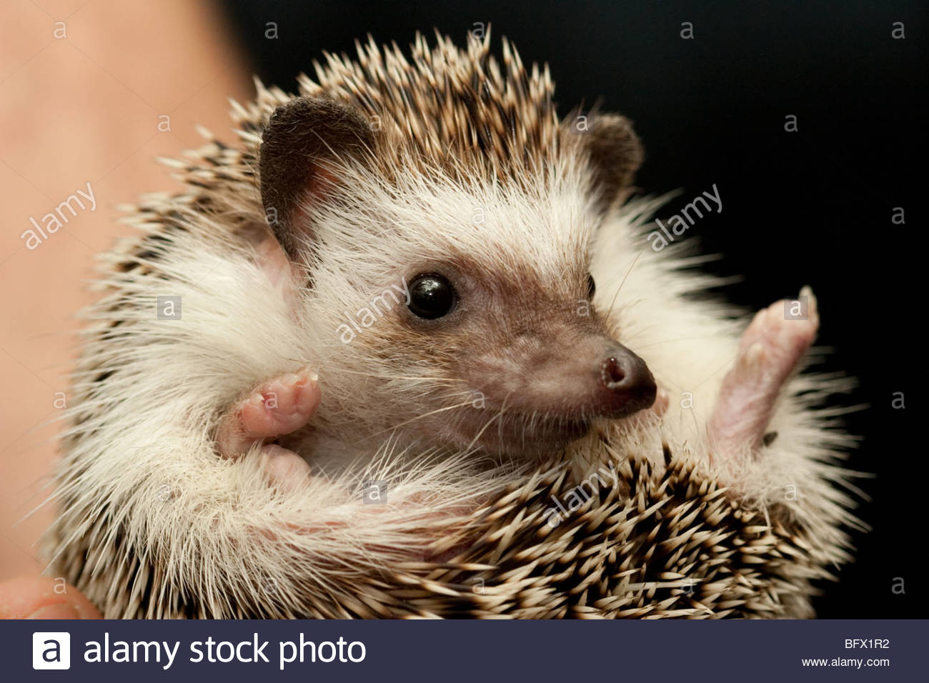 Hedgehog vet inspection Stock Photo