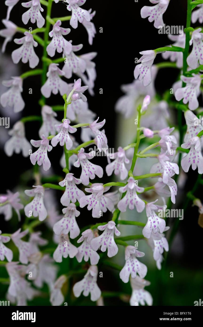stemalottis woodii orchid flower jewel like - Stock Image