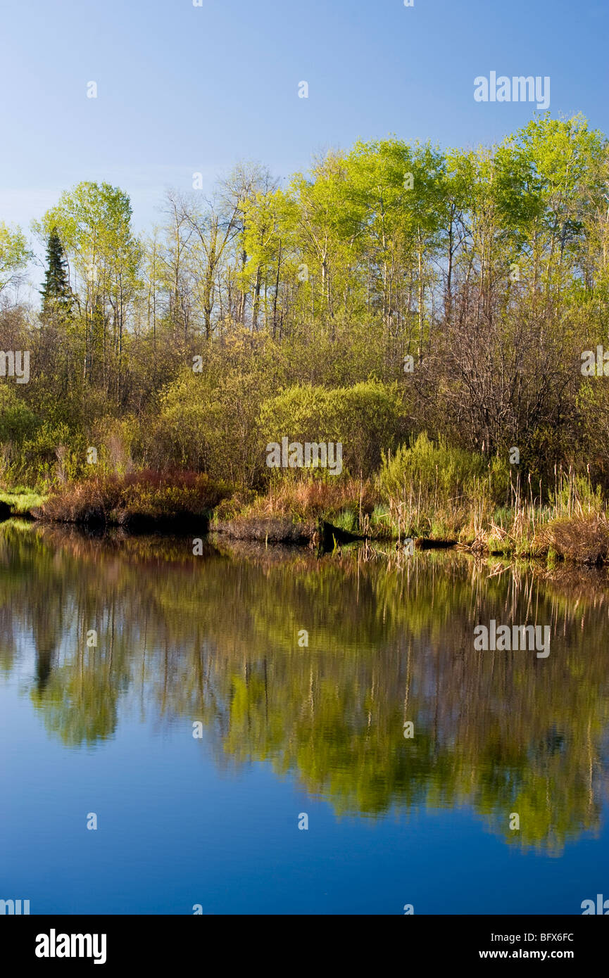 Fresh Spring foliage emerging in birch and aspen trees reflected in Levey Creek, Greater Sudbury, Ontario, Canada - Stock Image