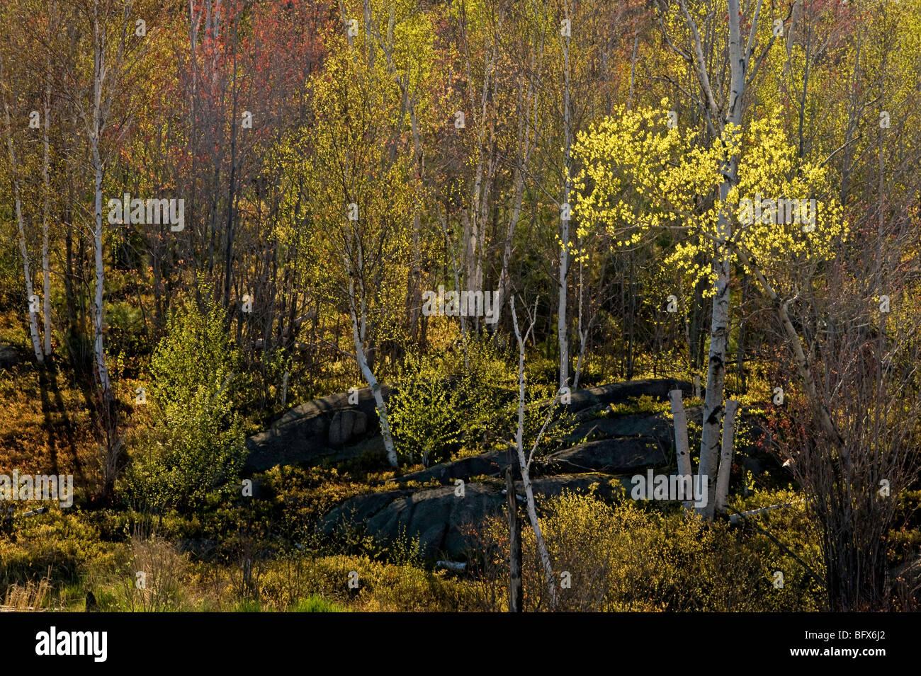 Spring foliage in aspen tree and birch trees, Greater Sudbury, Ontario, Canada - Stock Image