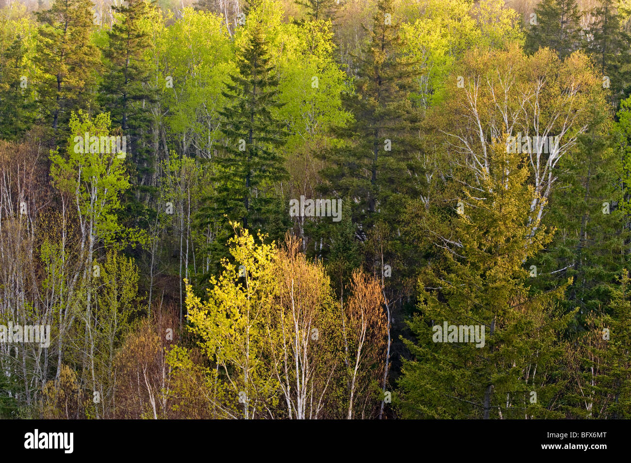 Emerging Spring foliage in deciduous trees in mixed forest on hillside, Greater Sudbury, Ontario, Canada - Stock Image