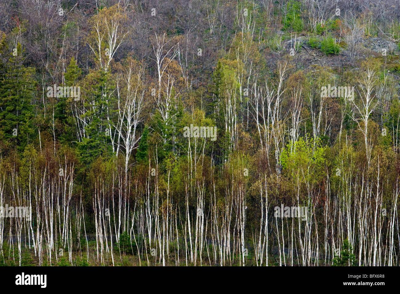 Hillside of white birch trees in Spring, Greater Sudbury, Ontario, Canada - Stock Image