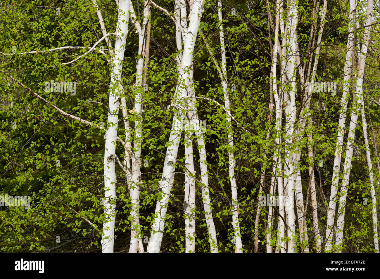 Birch tree trunks and beaverpond in front of large evergreen tree, Greater Sudbury, Ontario, Canada - Stock Image