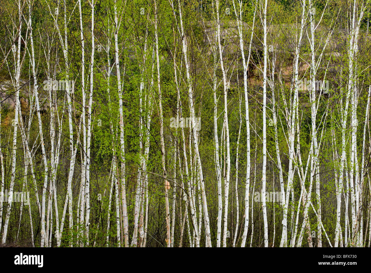 Birch tree trunks and fresh foliage, Greater Sudbury, Ontario, Canada - Stock Image