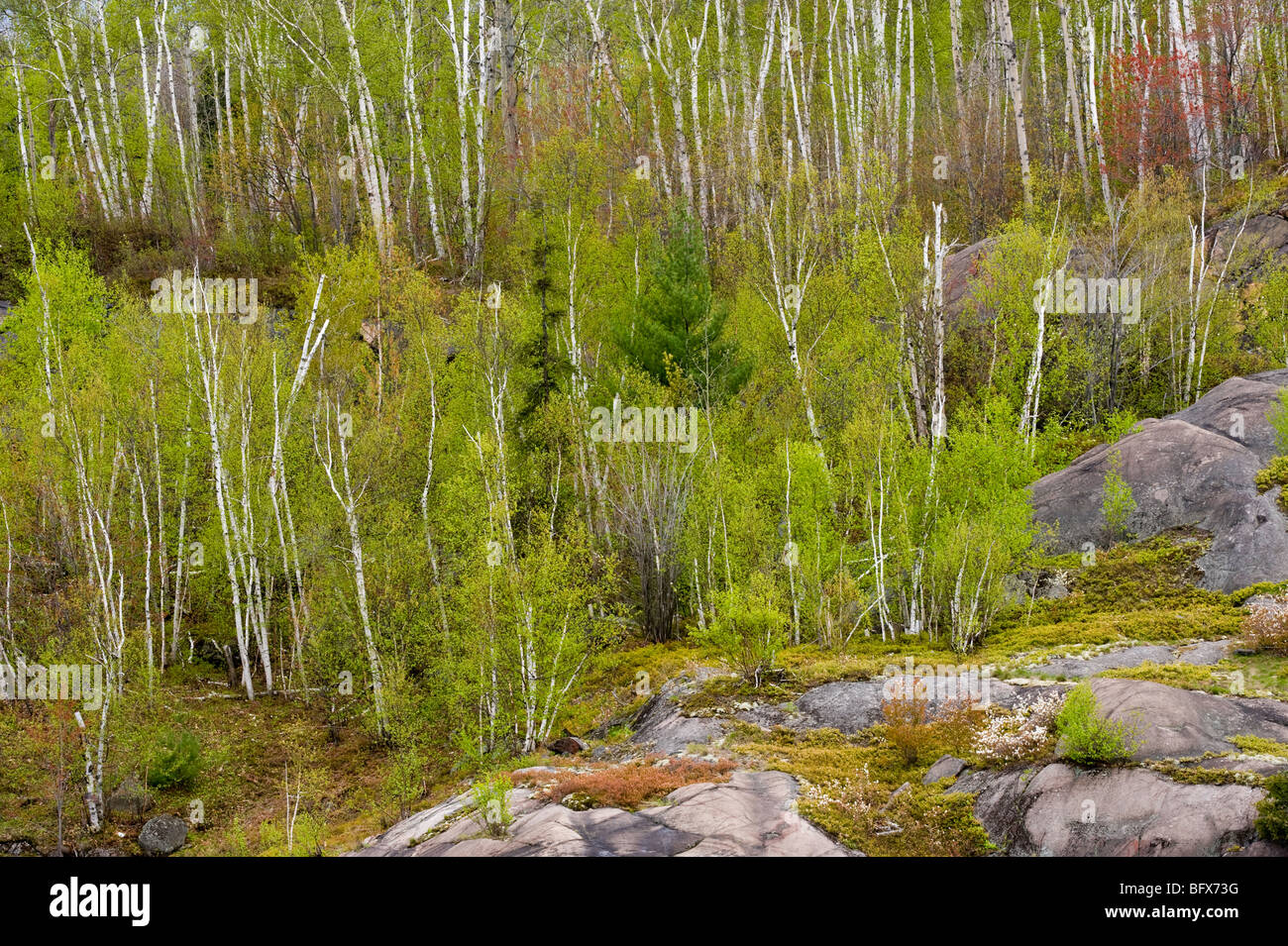 Rocky hillside with aspen trees and flowering serviceberry, Greater Sudbury, Ontario, Canada - Stock Image