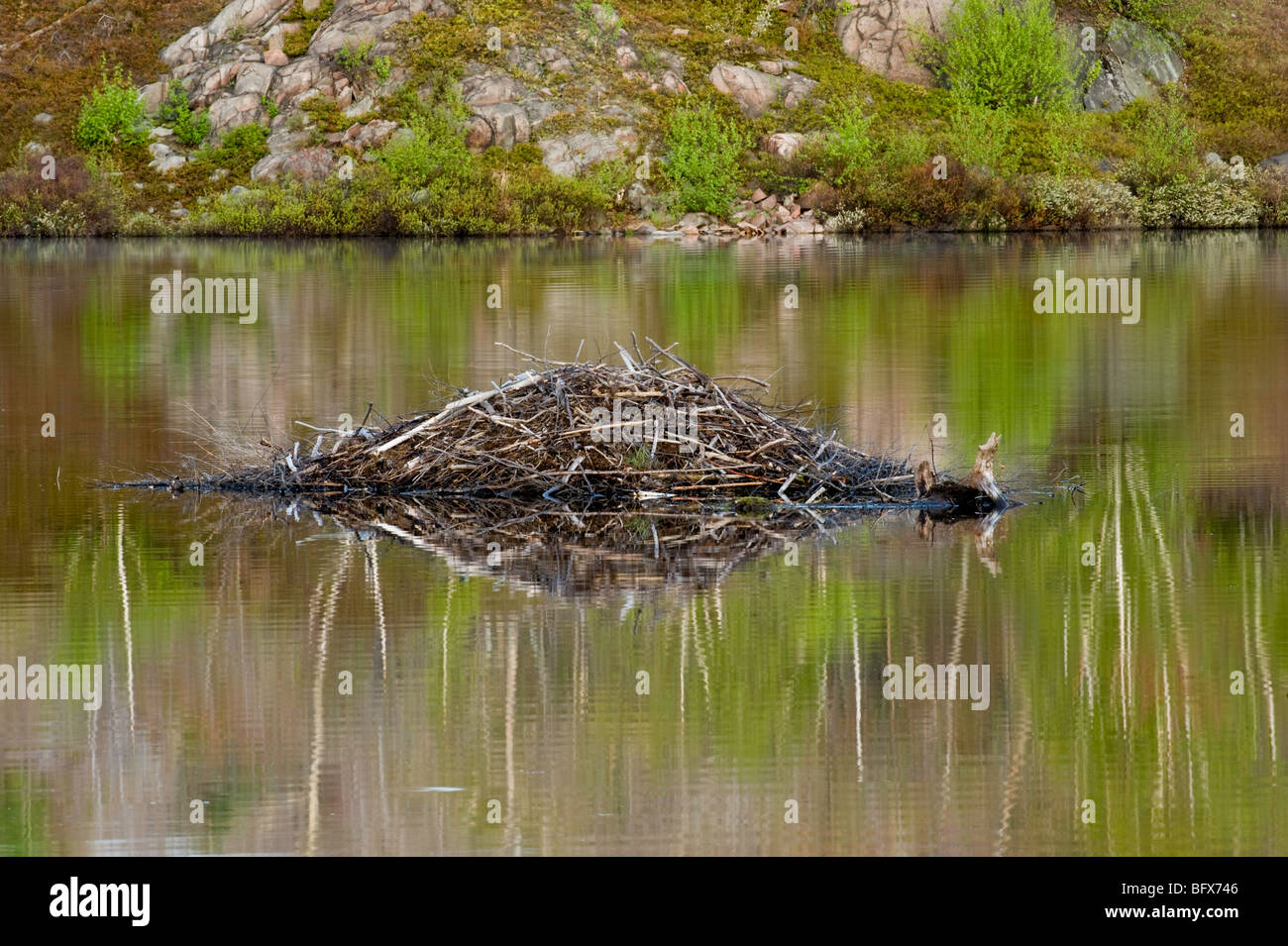 Beaver lodge and early spring foliage colour reflected in beaver pond, Greater Sudbury, Ontario, Canada - Stock Image
