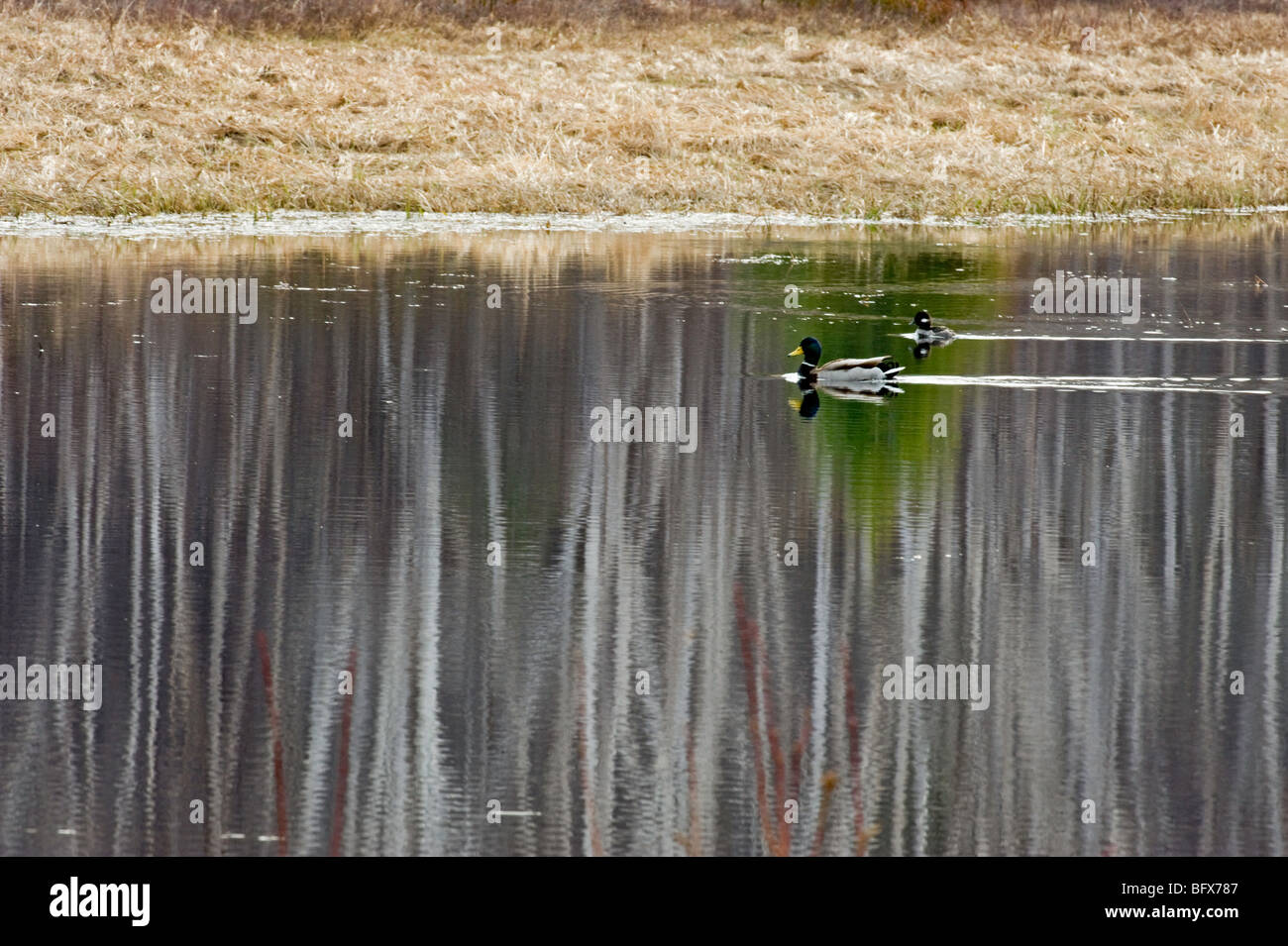 Birch tree reflections in beaver pond, with migrating waterfowl, Greater Sudbury, Ontario, Canada - Stock Image