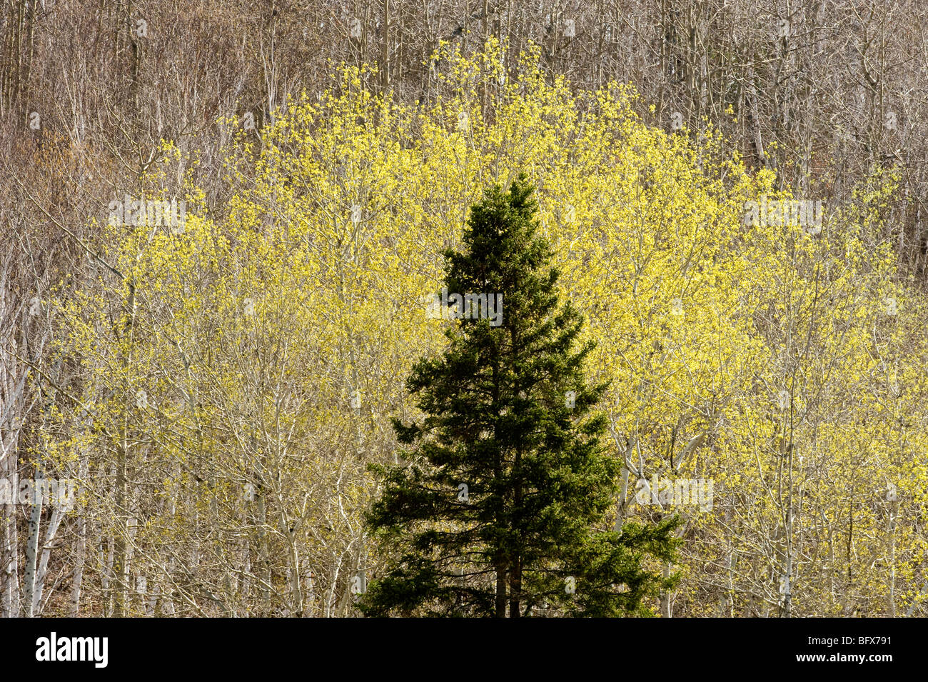 Emerging spring foliage in aspens, with spruce tree, Greater Sudbury, Ontario, Canada - Stock Image
