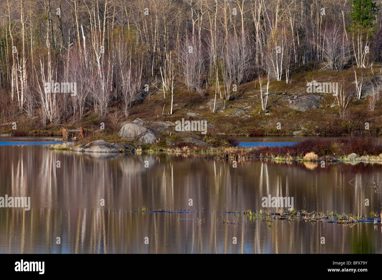 Birch tree reflections in beaverpond in early spring, Greater Sudbury, Ontario, Canada - Stock Image