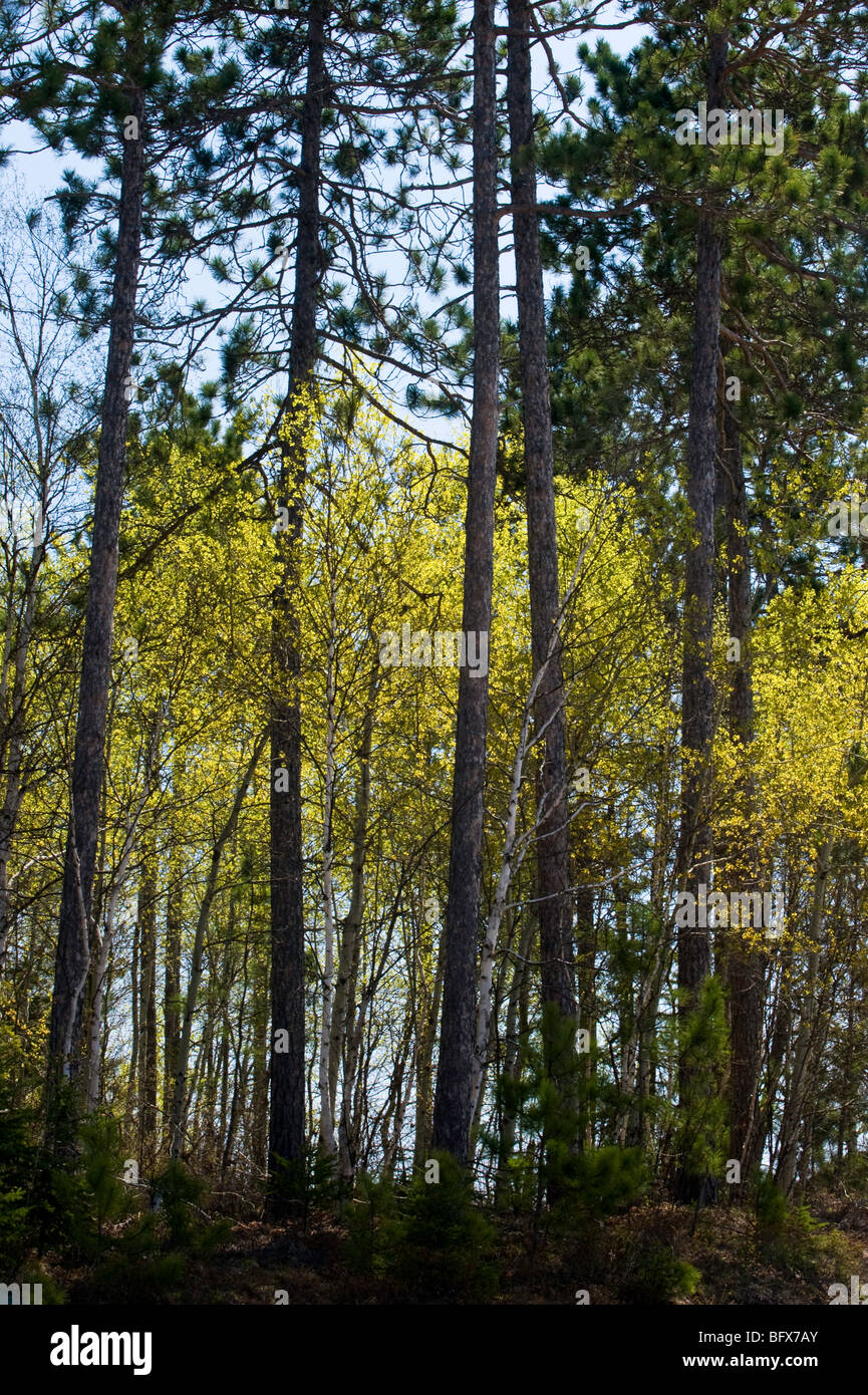 Emerging foliage in aspen tree understory with red pine tree trunks, Greater Sudbury, Ontario, Canada - Stock Image