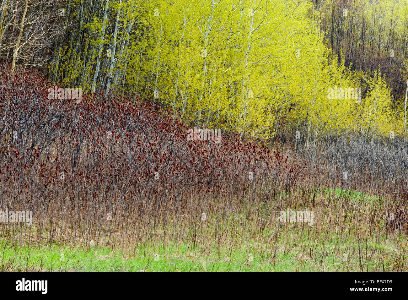 Emerging foliage in aspen grove with sumac shrubs, Greater Sudbury, Ontario, Canada - Stock Image