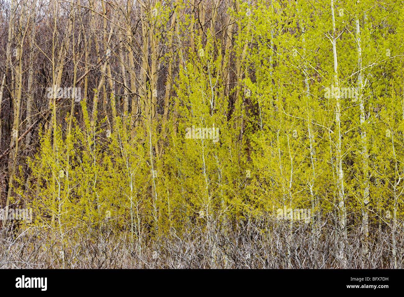 Emerging foliage in aspen grove, Greater Sudbury, Ontario, Canada - Stock Image
