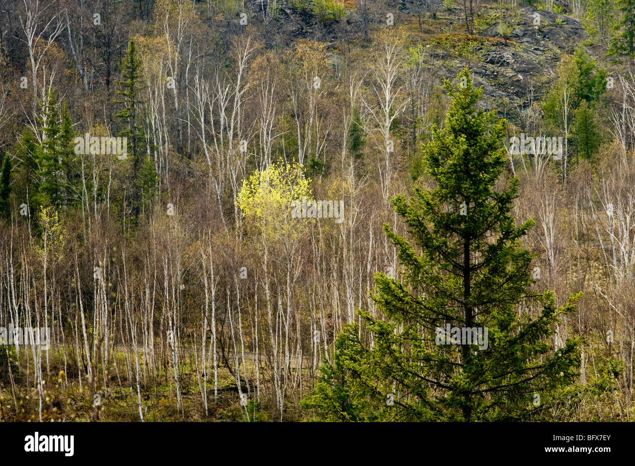Hillside with bare birch trees and emerging foliage in aspens, Greater Sudbury, Ontario, Canada - Stock Image