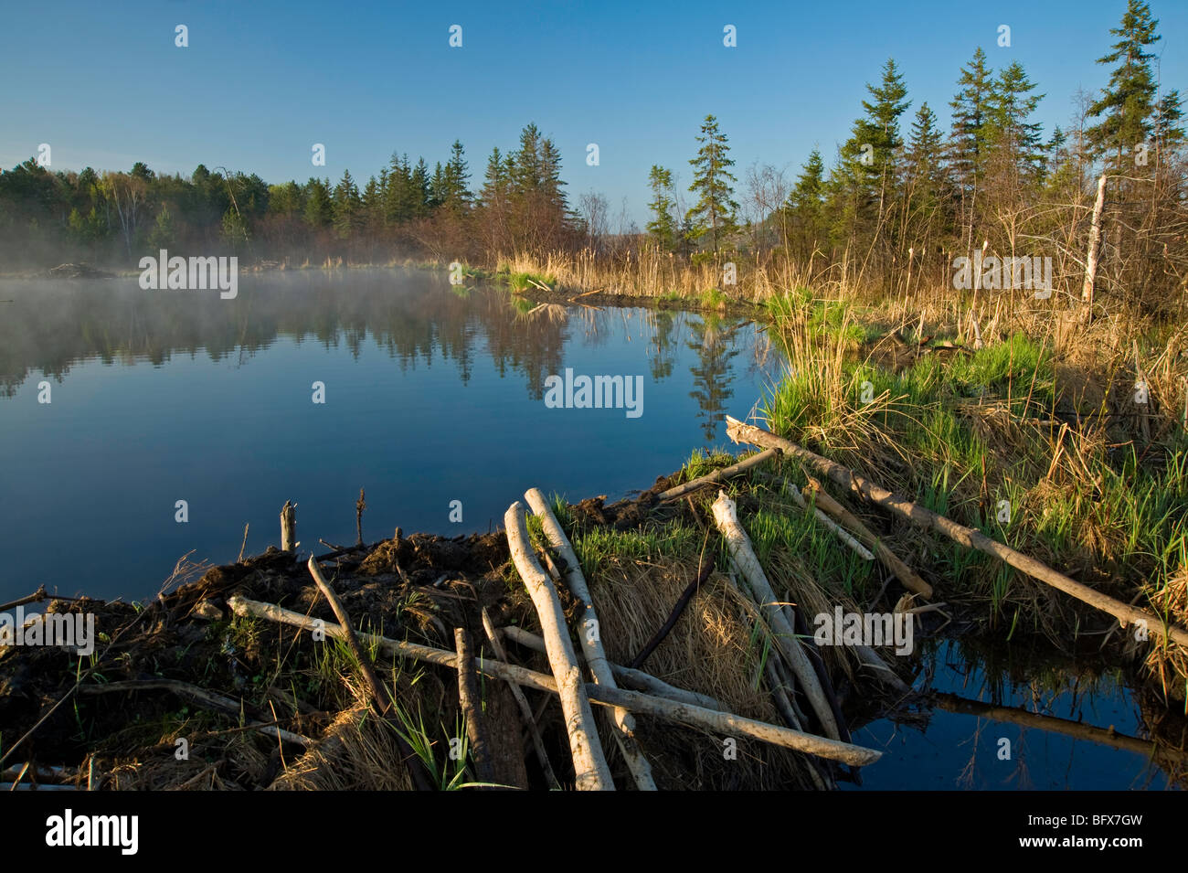 Emerging grasses on beaver dam in early spring, Greater Sudbury, Ontario, Canada - Stock Image