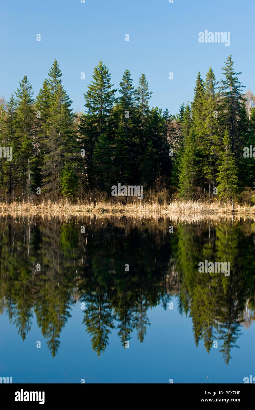 Spruce tree reflections in beaver pond, Greater Sudbury, Ontario, Canada - Stock Image