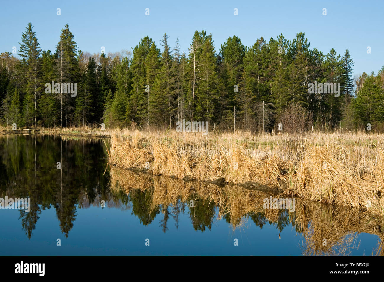Reflections in beaverpond with beaver dam and early spring grasses, Greater Sudbury, Ontario, Canada - Stock Image