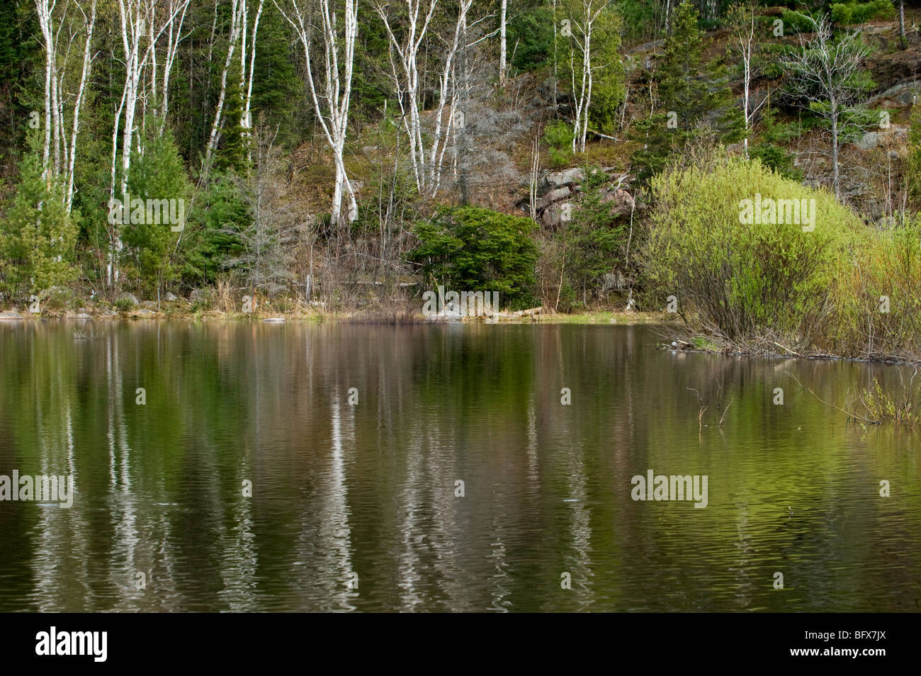 Willow reflections in spring in beaverpond water, Greater Sudbury, Ontario, Canada - Stock Image
