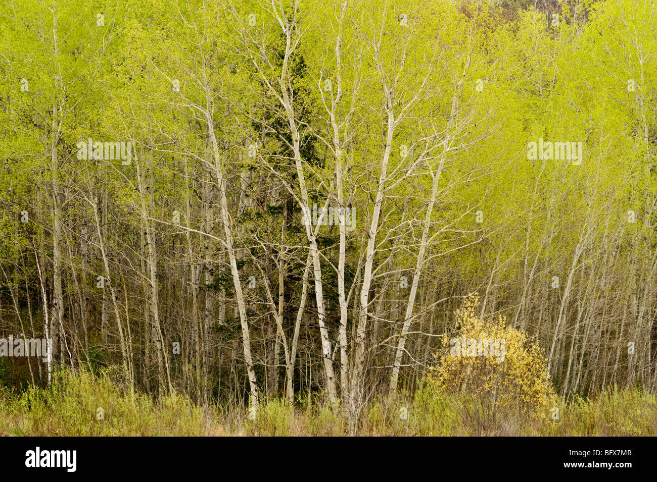 Fresh foliage emerging in aspens on hillside at edge of meadow, Greater Sudbury, Ontario, Canada - Stock Image