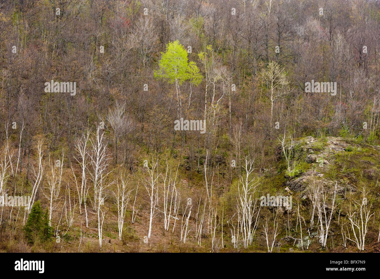 Aspens and birch trees in spring valley from high viewpoint, Greater Sudbury, Ontario, Canada - Stock Image