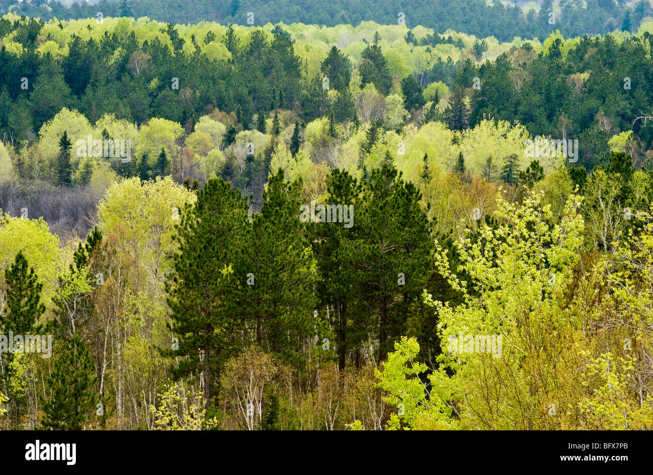 Fresh foliage in aspens with spruce and pine trees in valley from high viewpoint, Greater Sudbury, Ontario, Canada - Stock Image