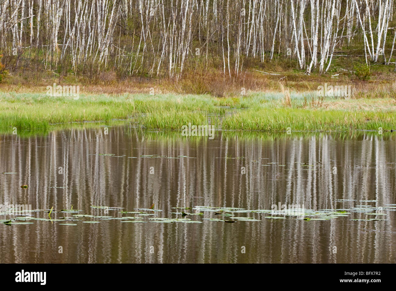 Birch tree reflections in beaverpond with water lily pads, Greater Sudbury, Ontario, Canada - Stock Image