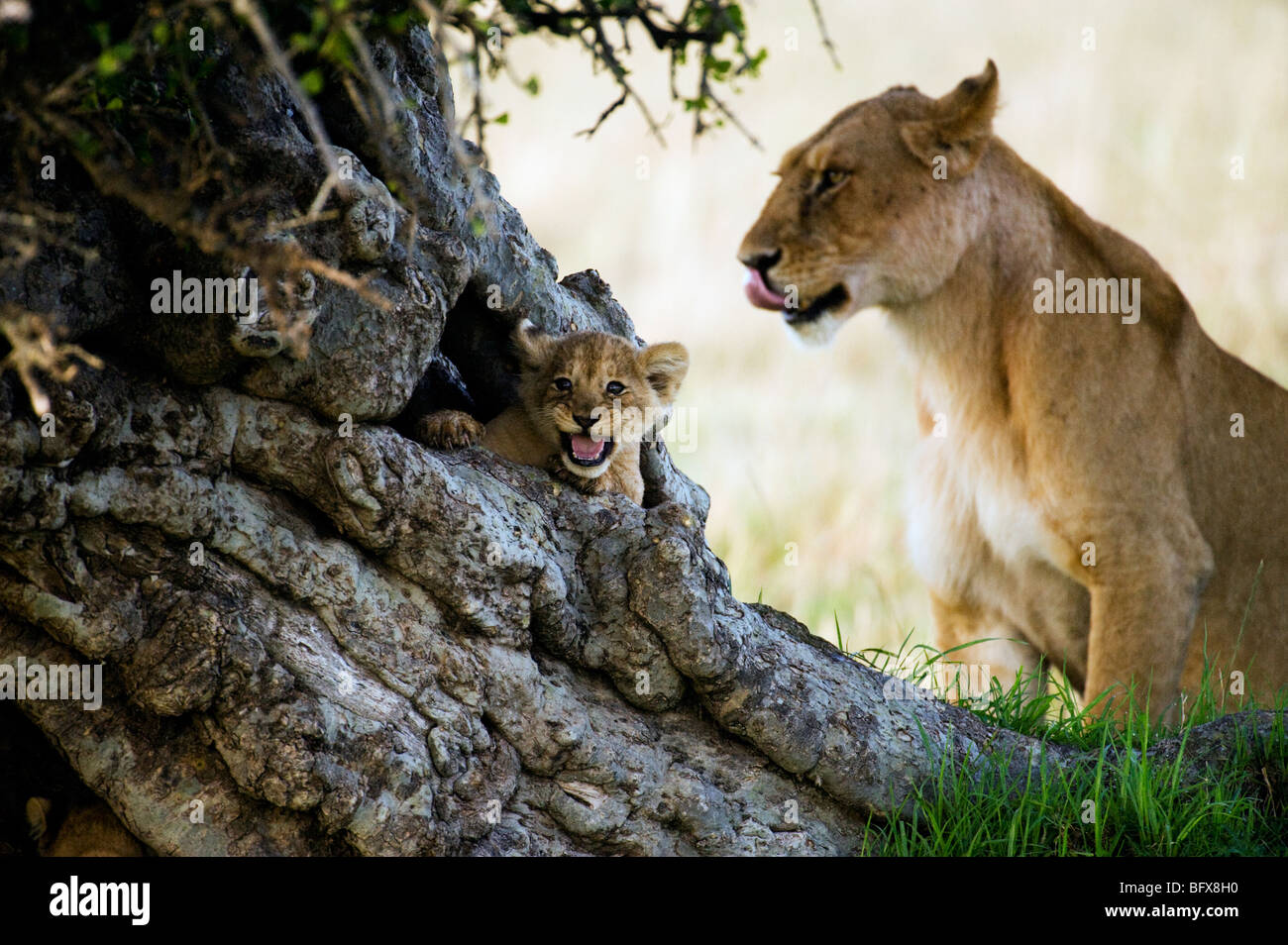 Lion Cub in Tree Trunk - Stock Image