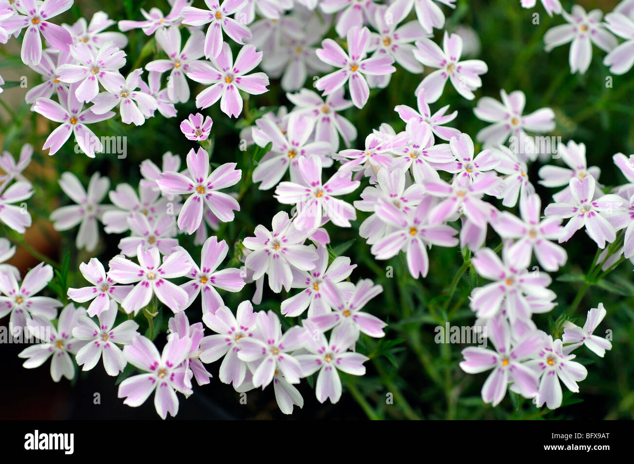 Tiny Pink And White Flowers Stock Photo 27008320 Alamy