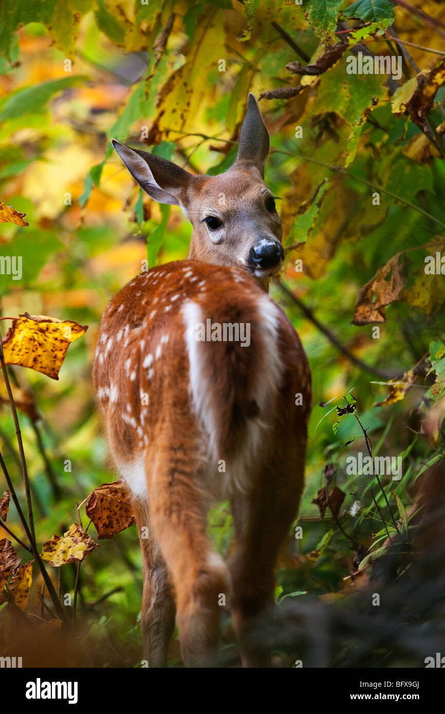 A White-Tailed Fawn (Odocoileus virginianus) also known as the Virginia deer or the whitetail in Quebec, Canada - Stock Image