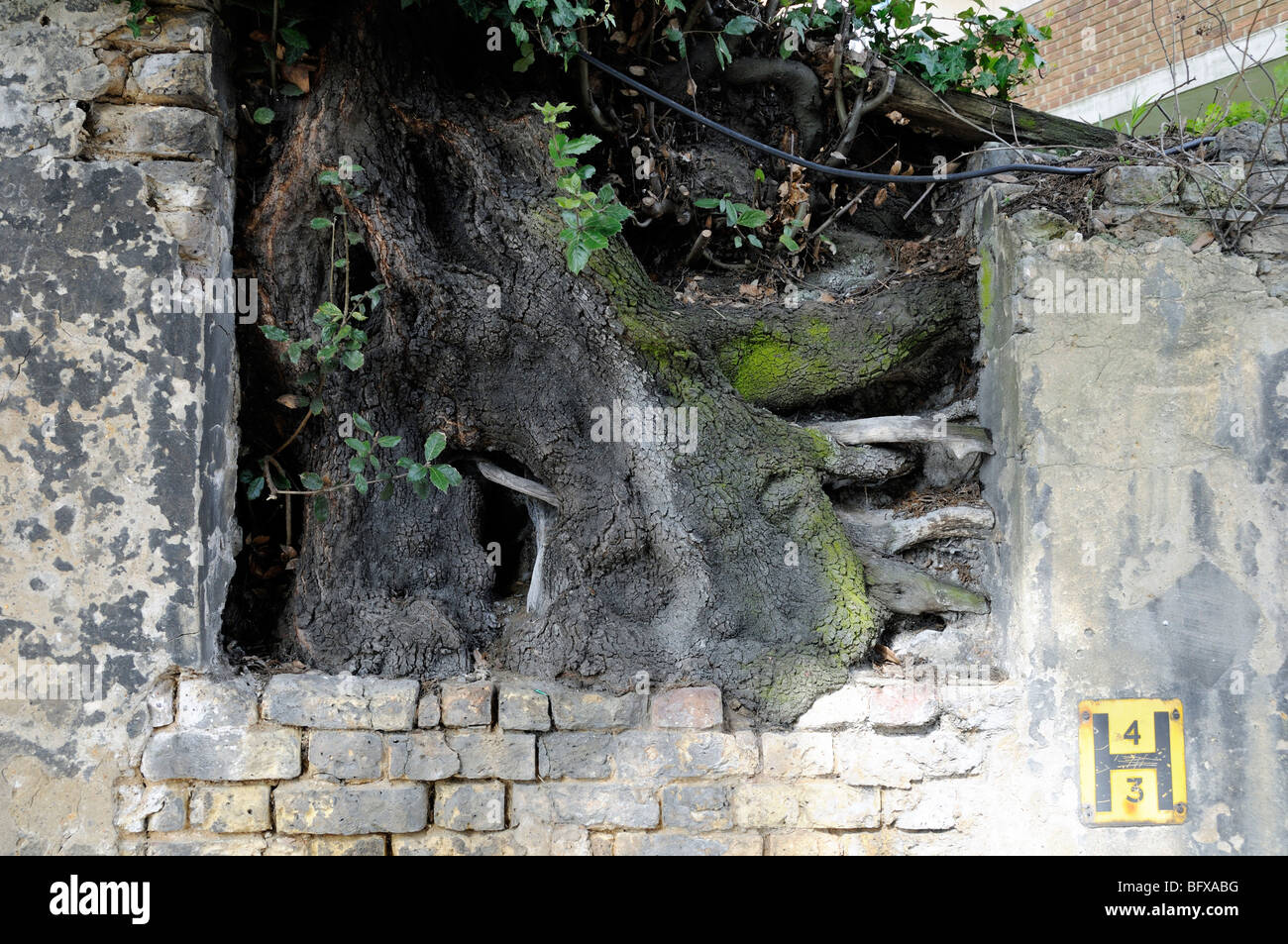 Tree root growing in brick wall Highgate - Stock Image