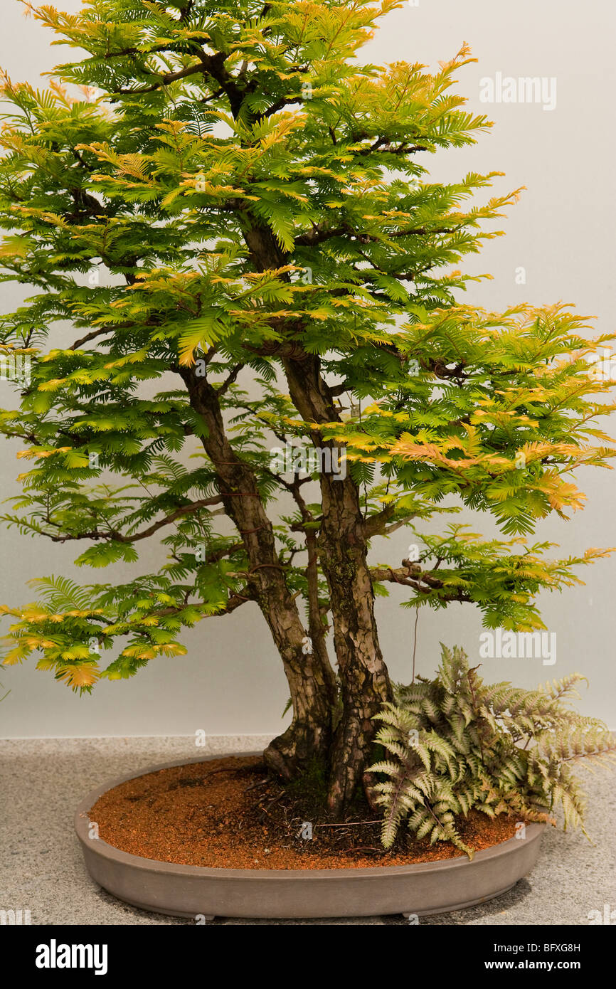 Bonsai Exhibit High Resolution Stock Photography And Images Alamy