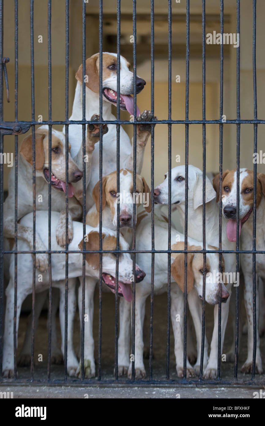 Fox Hounds In Kennels - Stock Image