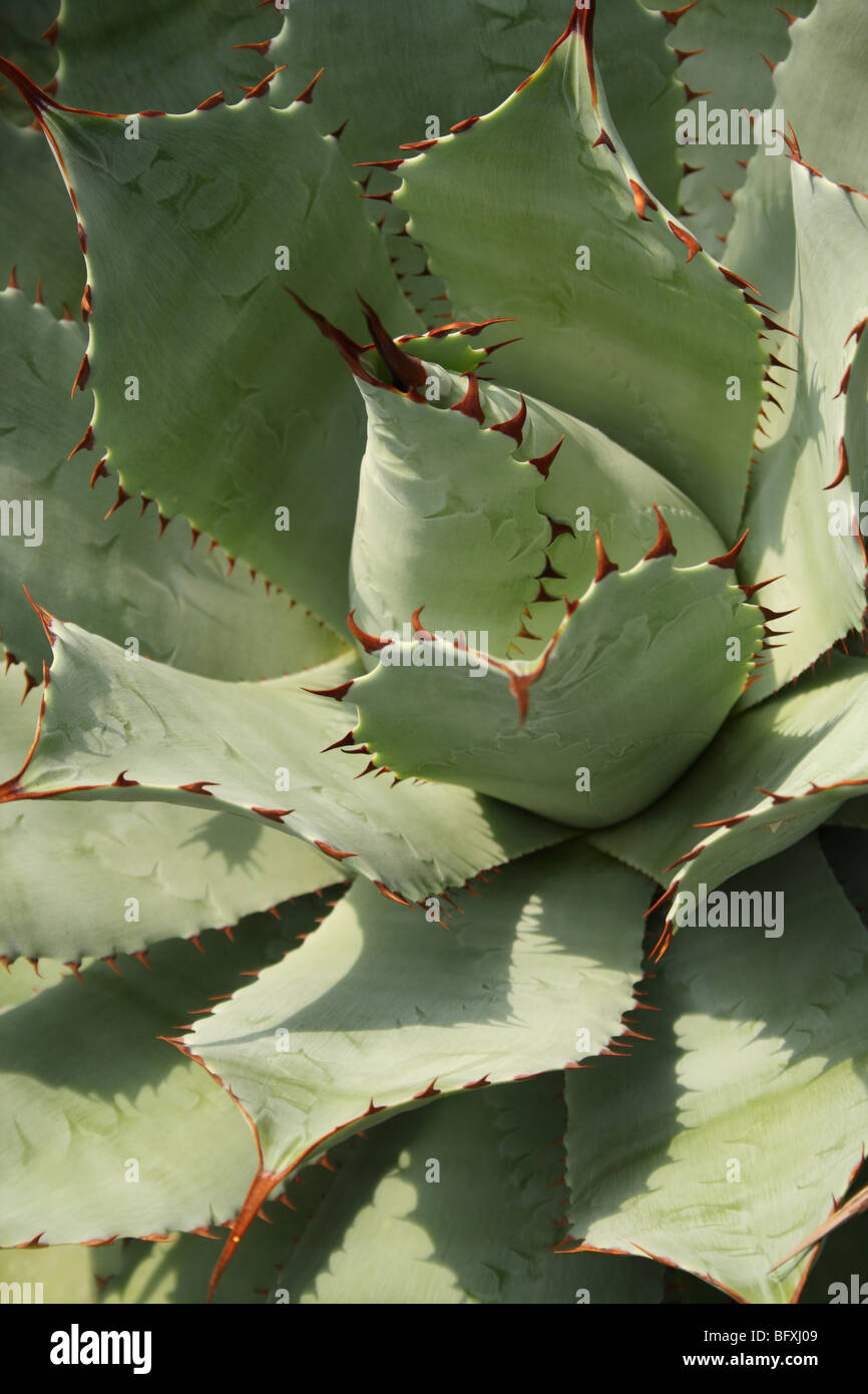 Cactus Plant in Glasshouse at the National Botanic Garden of Belgium at Meise (near Brussels) in Flemish Brabant, - Stock Image