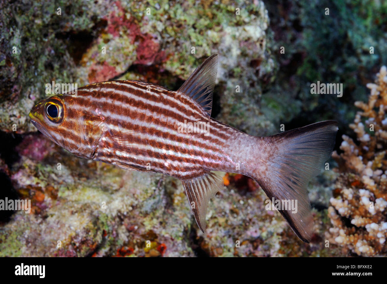 'Tiger cardinalfish' fish, Cheilodipterus macrodon, on coral reef, 'Red Sea' - Stock Image