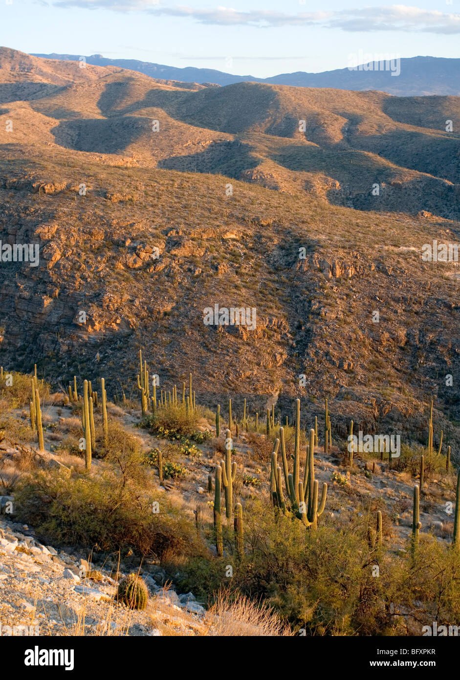 A forest of Saguaro cactus with the Rincon Mountains in the background - Stock Image