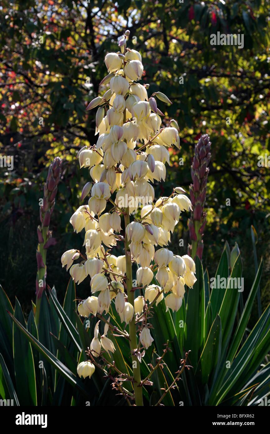 Yucca filamentosa, commonly known as Adam's needle in flower in the Botanic gardens in Melbourne Victoria Australia - Stock Image
