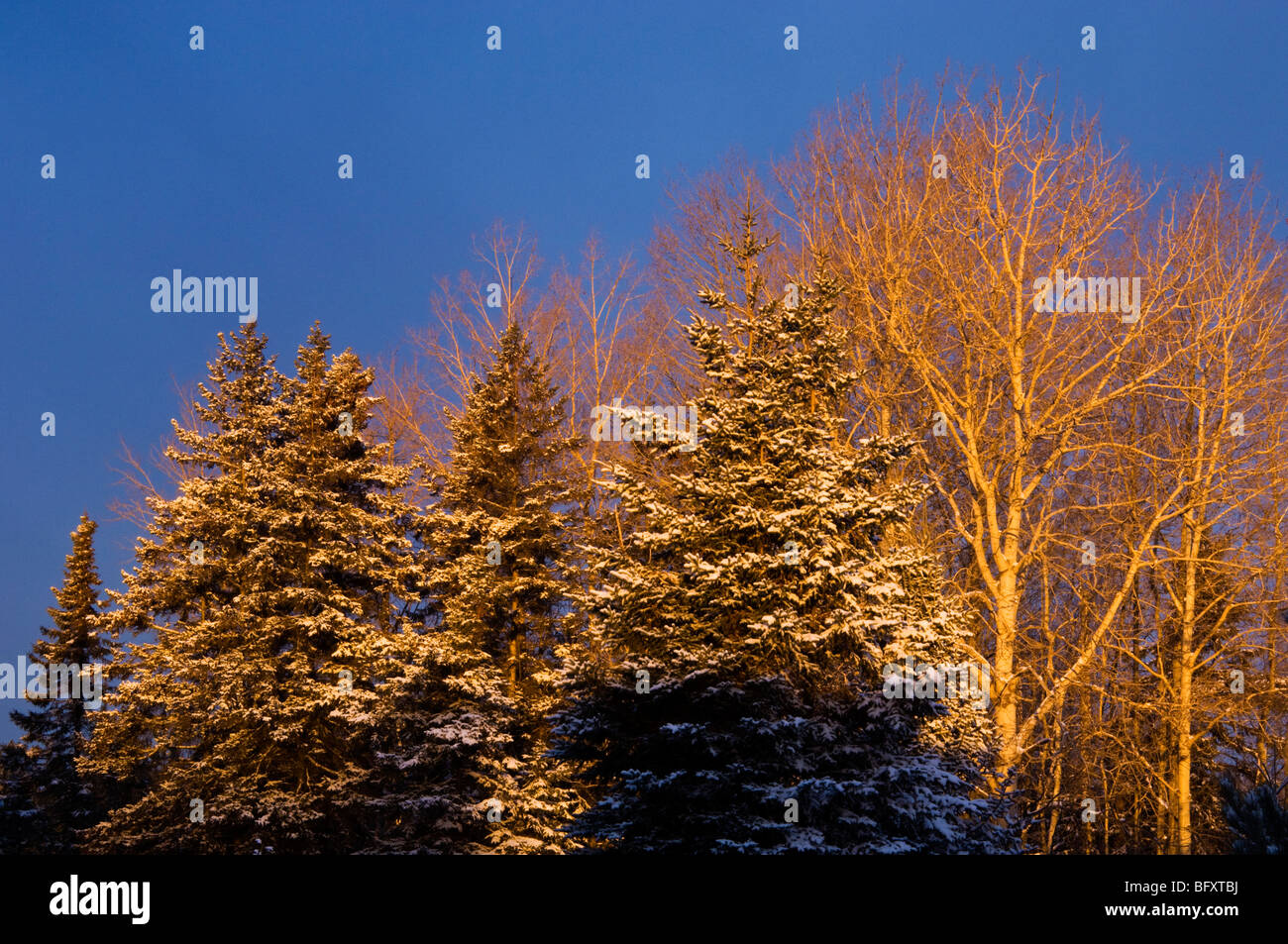 Spruces and aspens with light snow, Greater Sudbury, Ontario, Canada - Stock Image