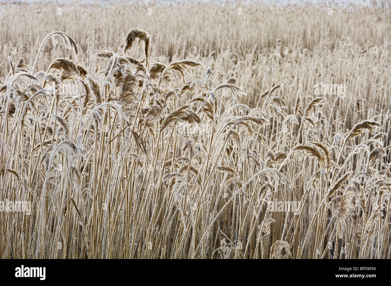 Frosted common reed colony, Greater Sudbury, Ontario, Canada - Stock Image
