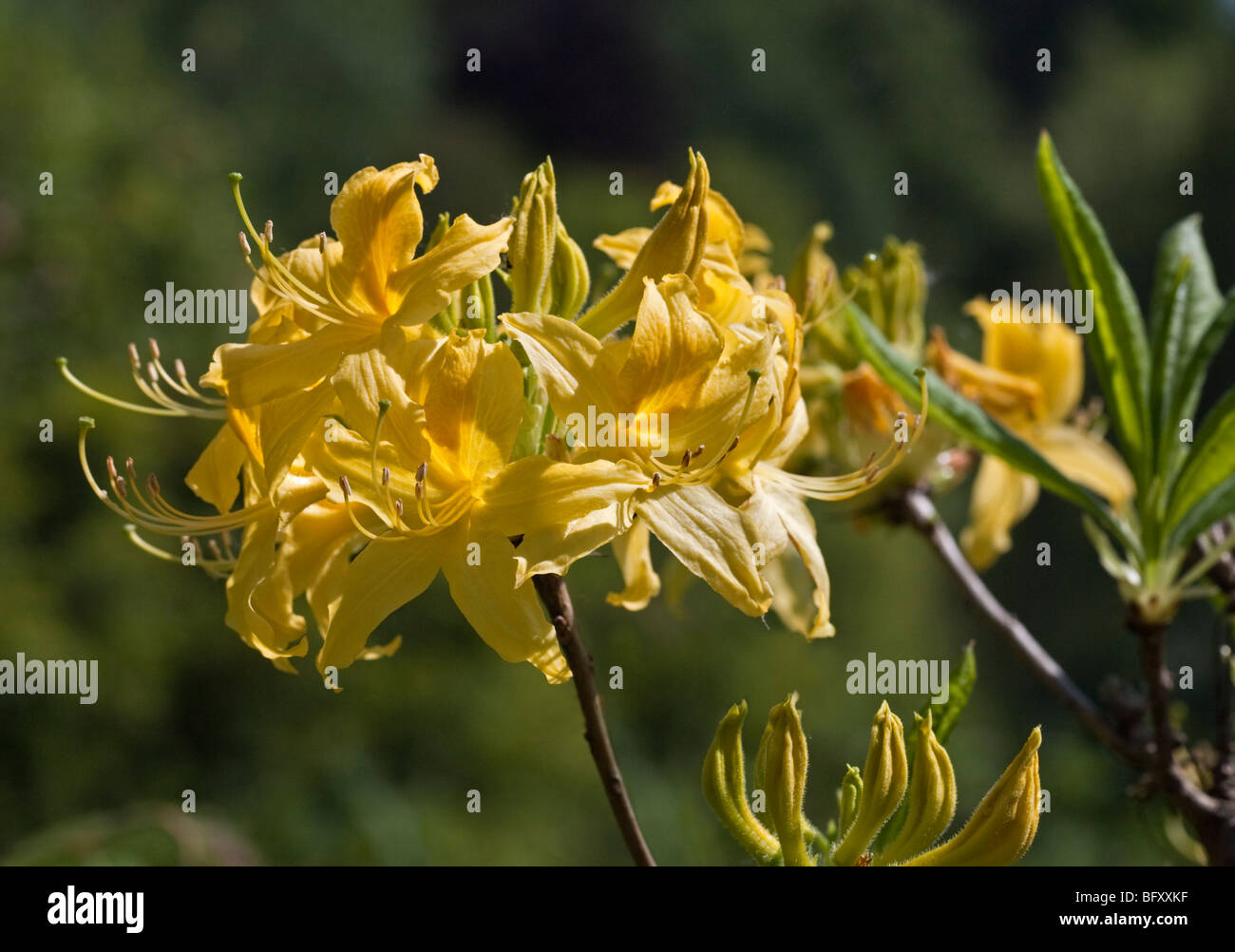 Yellow Rhododendron Luteum - Stock Image