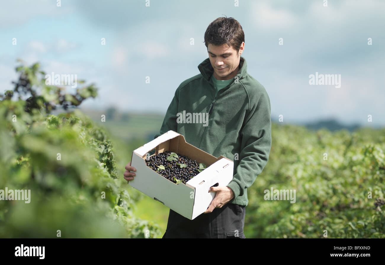Man With Box Of Harvested Blackcurrants - Stock Image