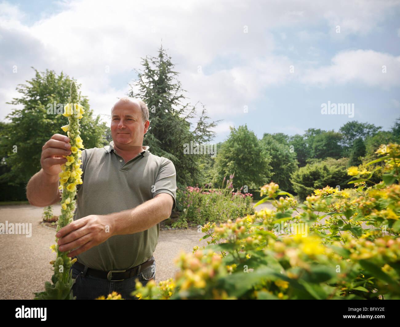 Gardener Inspecting Yellow Blooms - Stock Image