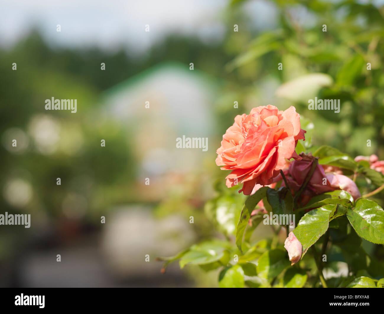 Rose In Garden Center - Stock Image