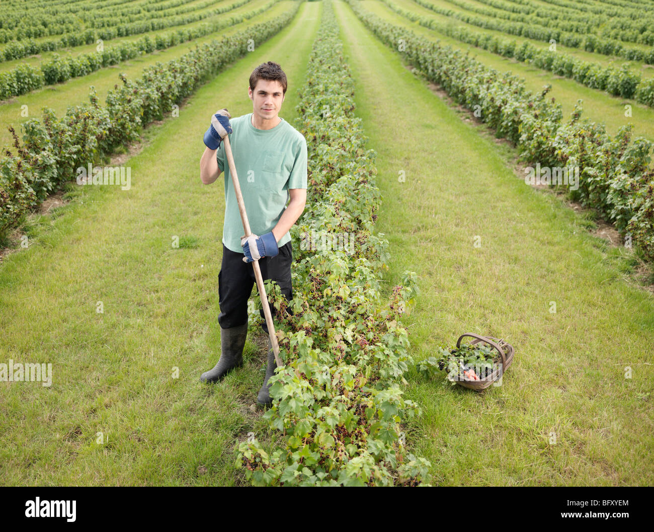 Man With Rows Of Blackcurrant Shrubs - Stock Image