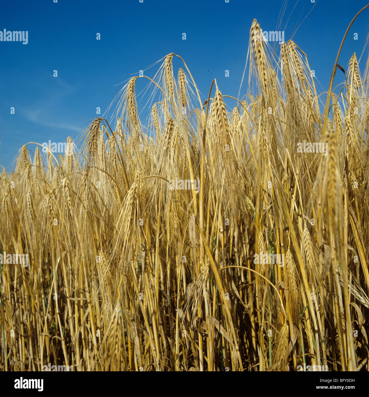 Ripe six row barley against an intense blue summer sky - Stock Image