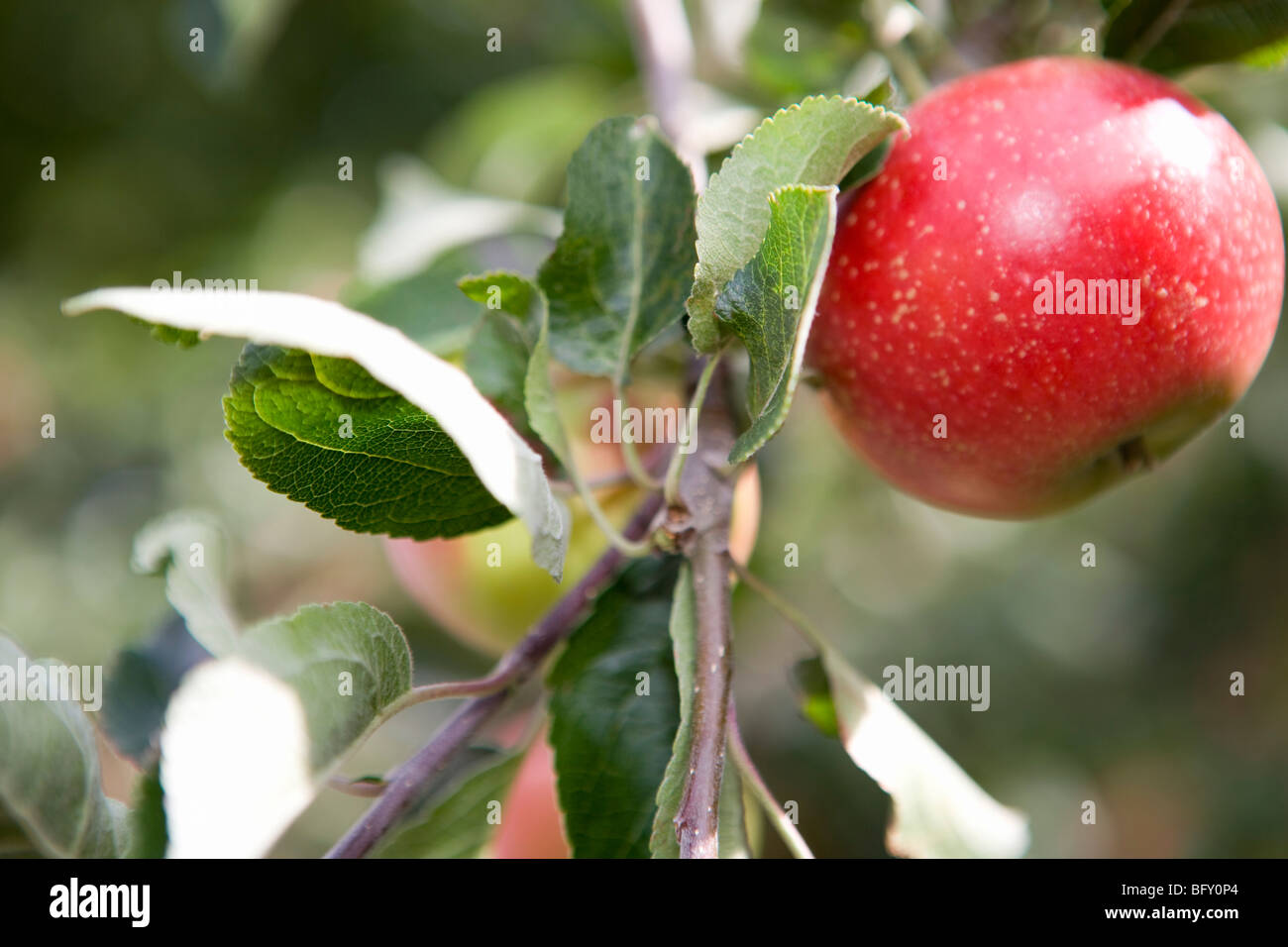Perfect ripe red apple - Stock Image
