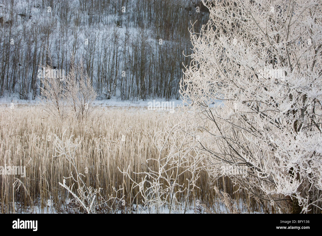 Frosted trees and common reeds near open water of Robinson Creek, Greater Sudbury, Ontario, Canada Stock Photo