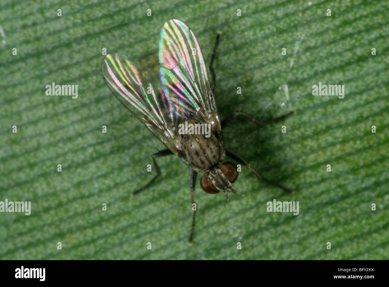 A hunter fly (Coenosia attenuata) a predatory fly on a leaf - Stock Image