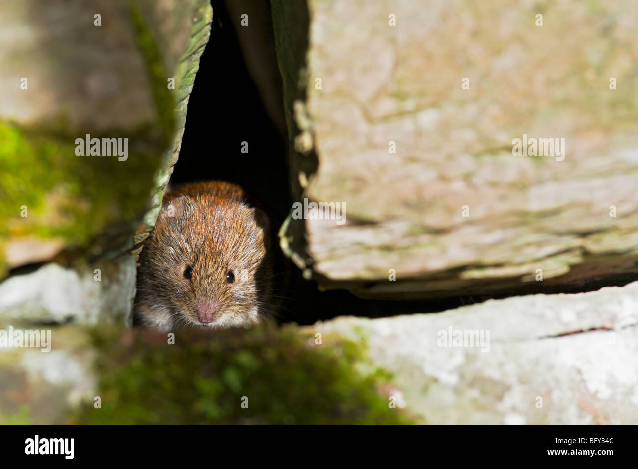 Bank vole in crevice of stone wall - Stock Image