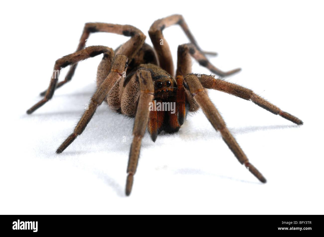 Tarantula type spider; Atlantic Rainforest; Brazil - Stock Image