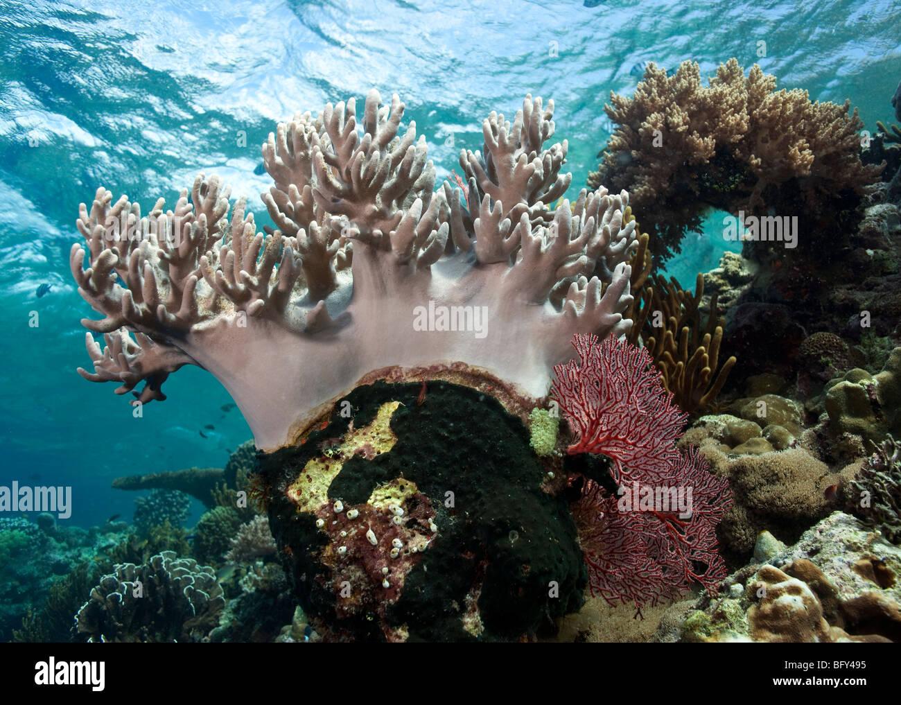 white soft corals underwater menjangan island - Stock Image